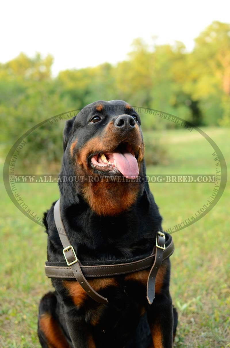 Comfy Leather Rottweiler Harness For Training And Pulling