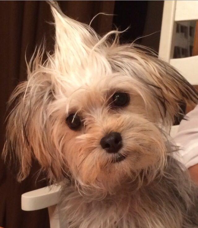 Morkie Maltese Yorkie Funny Dog Morkies Pinterest Dogs Yorkie