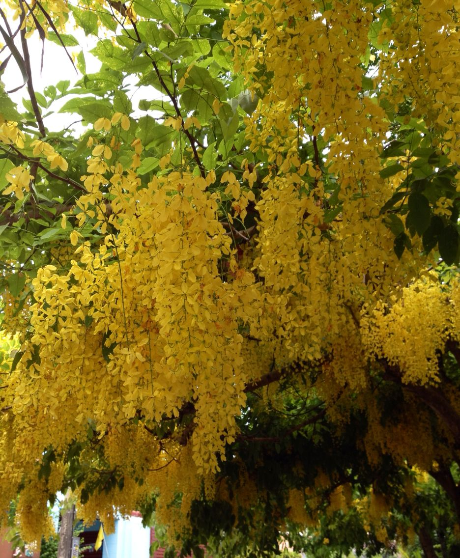 Yellow Flowers Name Golden Shower The Garden And Plants