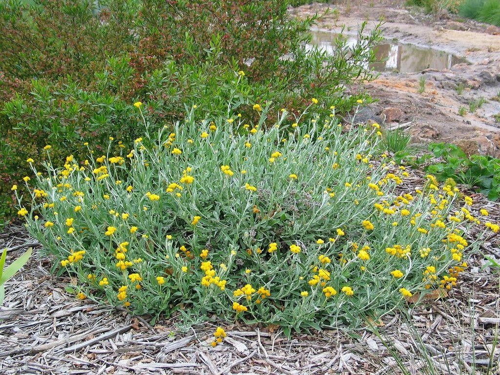 All Plants | Australian native garden, Front yard plants ...