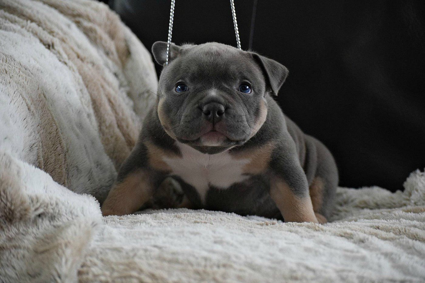 Texas Size Bullies Website Pocket Bully Puppies For Sale Bullying