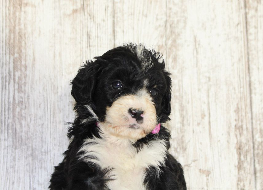 Shelby A Female Mini Bernedoodle Puppy For Sale Near Fort Wayne