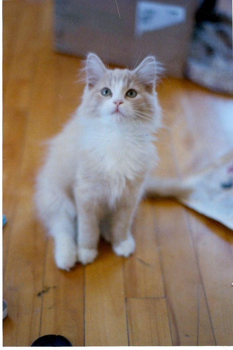 somali cat breeder