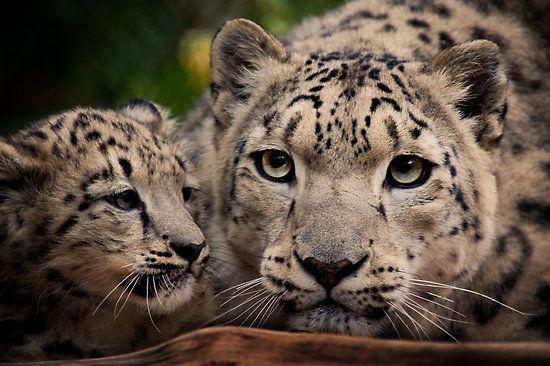 Natalie Manuel ›  Snow Leopards