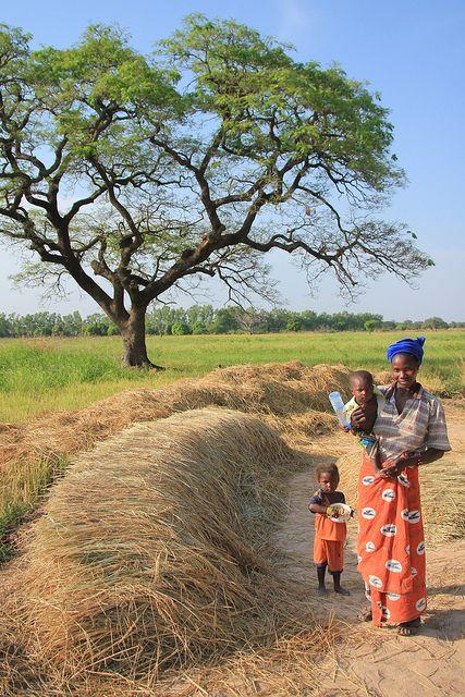 Harvesting Rice in Mali.