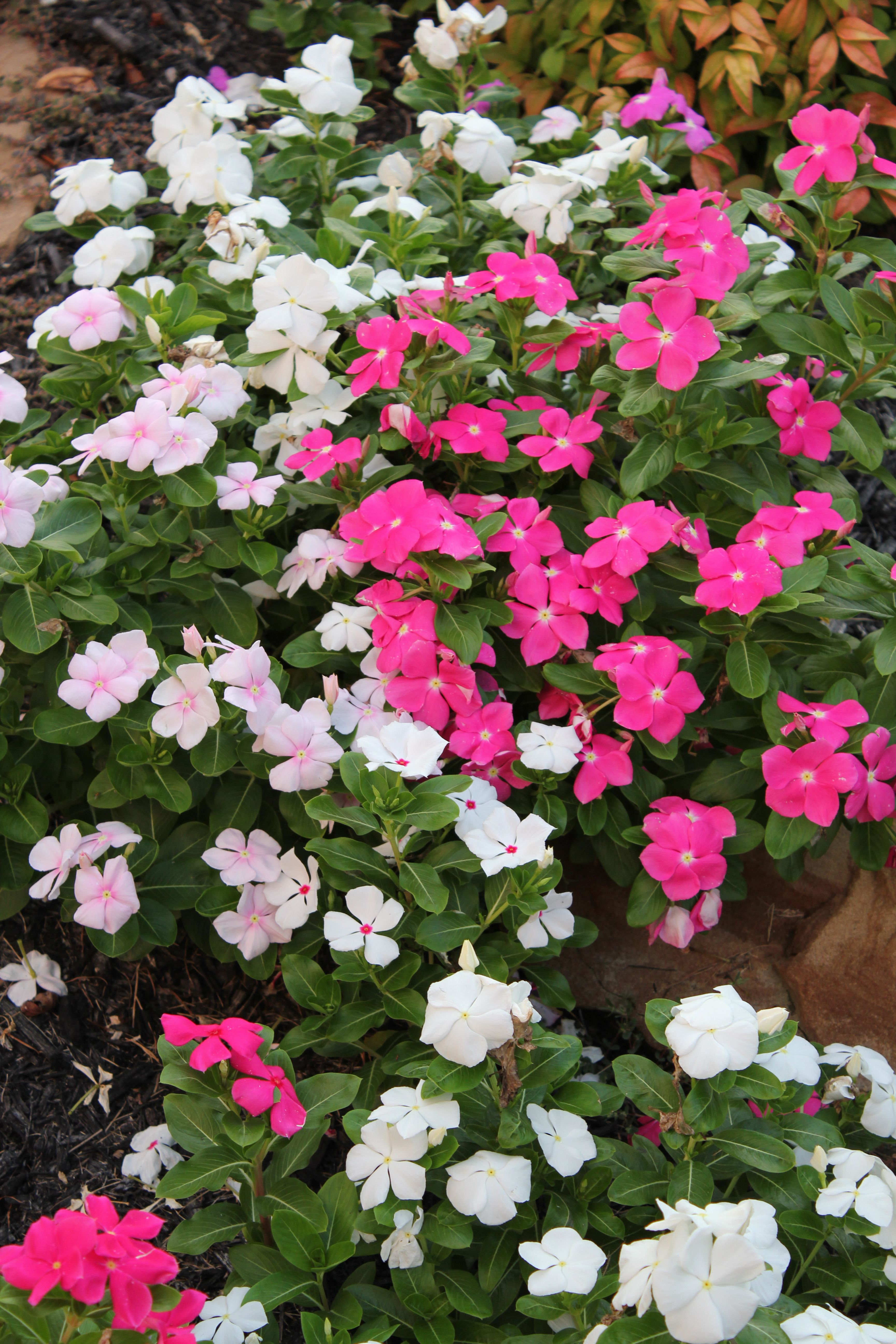 Vincas no watering, no picking the dead heads off