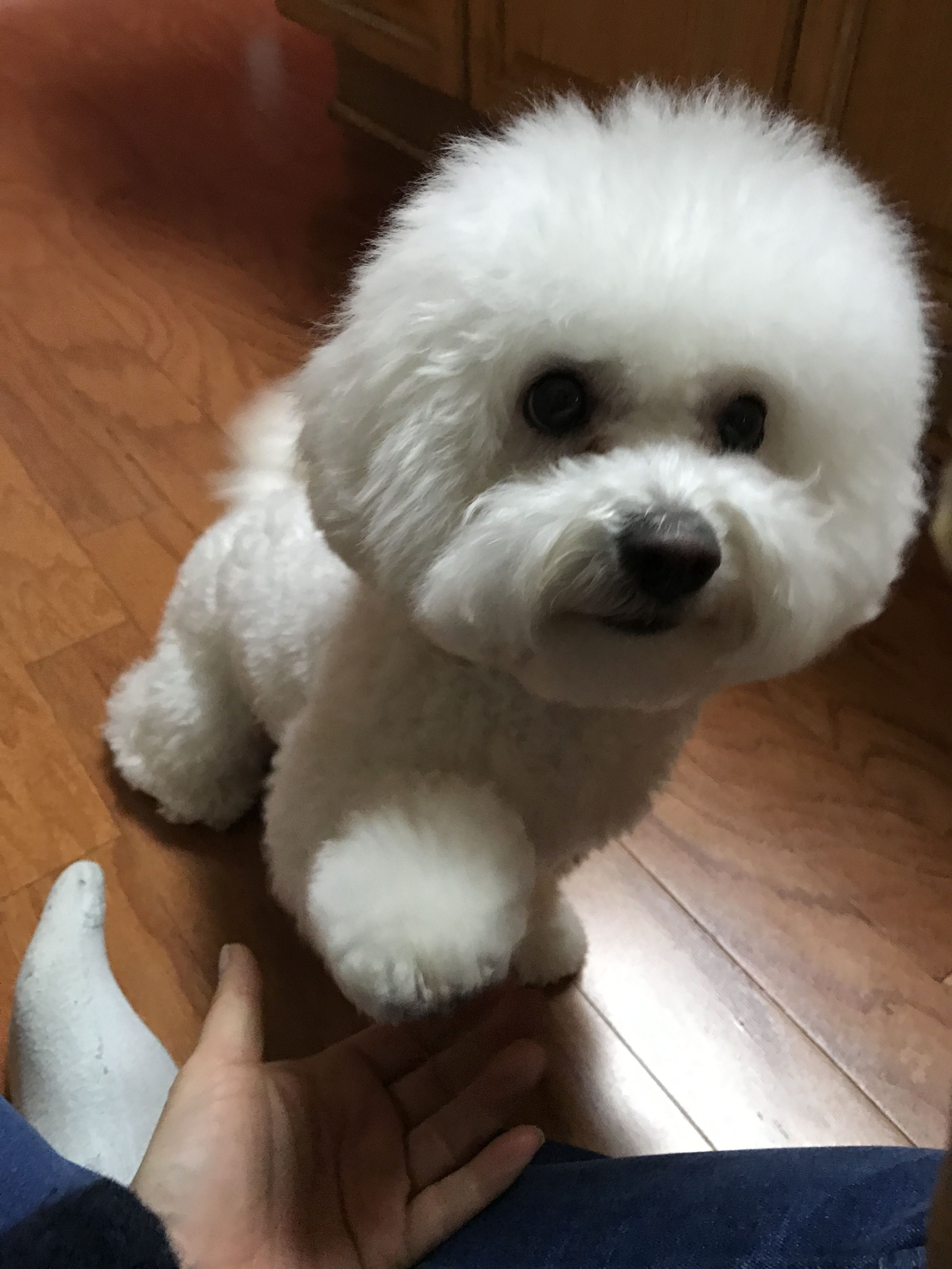 Bichon Frise Bichon Dog Bichon Frise Bichon Frise Dogs