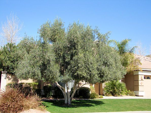 Fruitless Olive Tree Varieties Ehow Olive Trees Landscape Tuscan Landscaping Xeriscape Landscaping