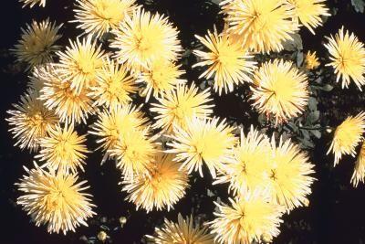 How To Deadhead Chrysthanthemums Mums Flowers Chrysanthemum Growing Dead Head