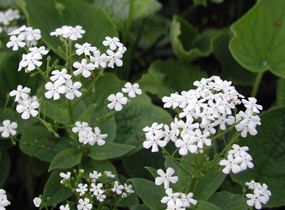 brunnera macrophylla 39 betty bowring 39 wei es kaukasus vergissmeinnicht cottage garten. Black Bedroom Furniture Sets. Home Design Ideas