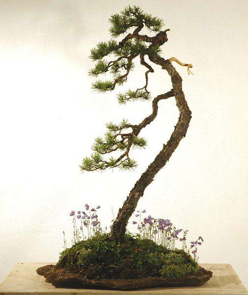 literati pine bonsai shohin bonsai penjing pinterest bonsai bonsai baum und pflanzen. Black Bedroom Furniture Sets. Home Design Ideas
