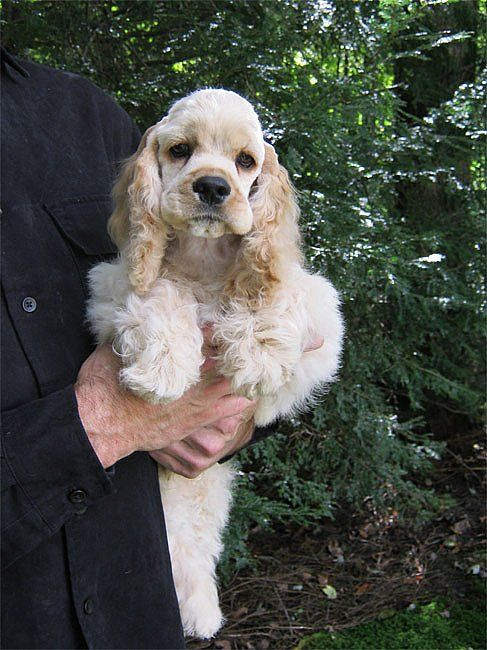 American Cocker Spaniel Pup Classic Look Trim Kebec S Cockers Spaniel Puppies American Cocker Spaniel Cocker Spaniel Puppies