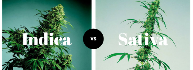 cannabis indica cannabis sativa pflanzen unterschiede. Black Bedroom Furniture Sets. Home Design Ideas