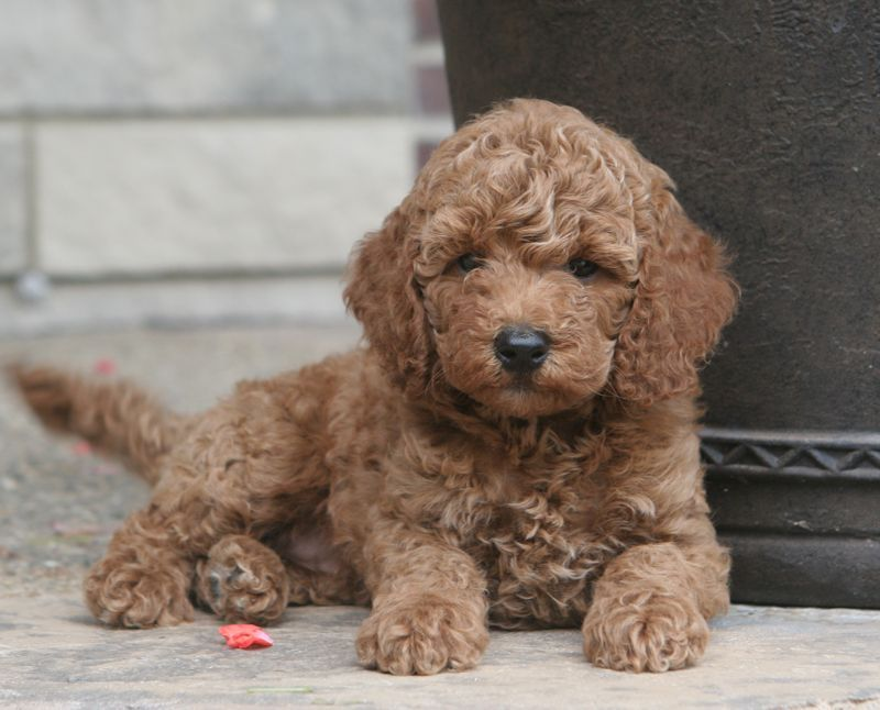 Moyen Poodle Puppies For Sale From Sunshine Acres Poodles Dogs