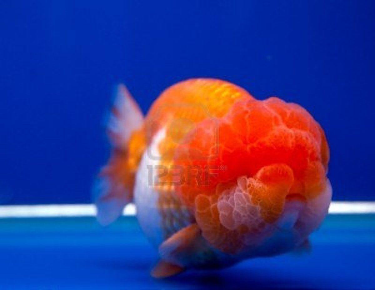Lionhead Goldfish Lionhead Goldfish For Sale Uk Goldfish For Sale Lionhead Goldfish Goldfish