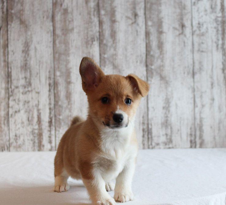 Braylin A Pembroke Welsh Corgi Dog For Sale In Fort Wayne