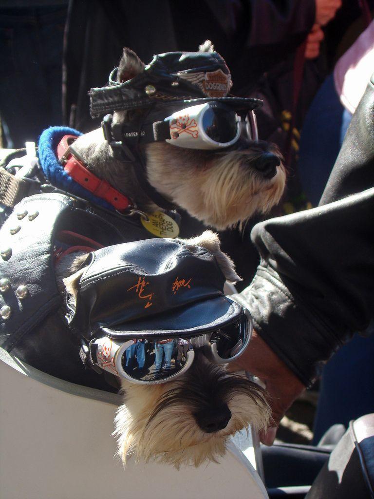 Biker Dogs Dogs Rescue Dogs Schnauzer Dogs
