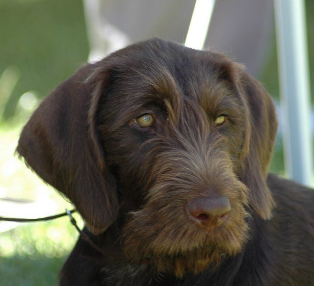 Brown German Wirehaired Pointer Google Search I Hope This Is
