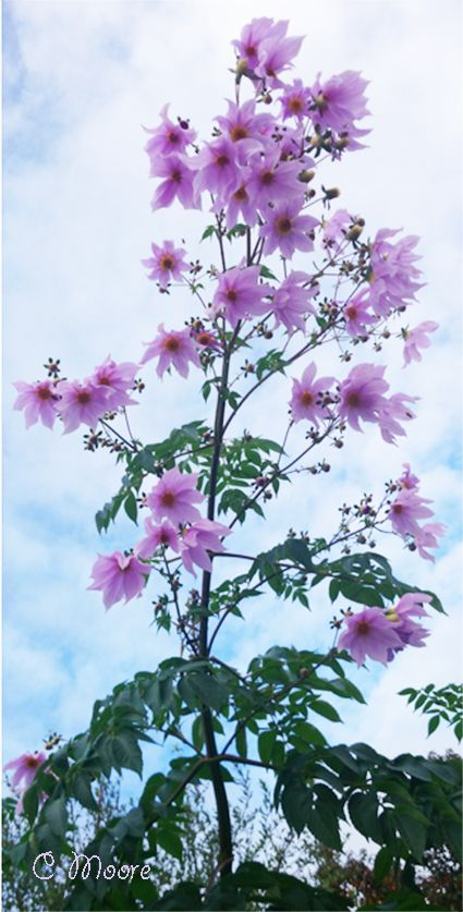 How To Grow Tree Dahlia Tall And Elegant Growing Tree Growing Dahlias Dahlia Flower