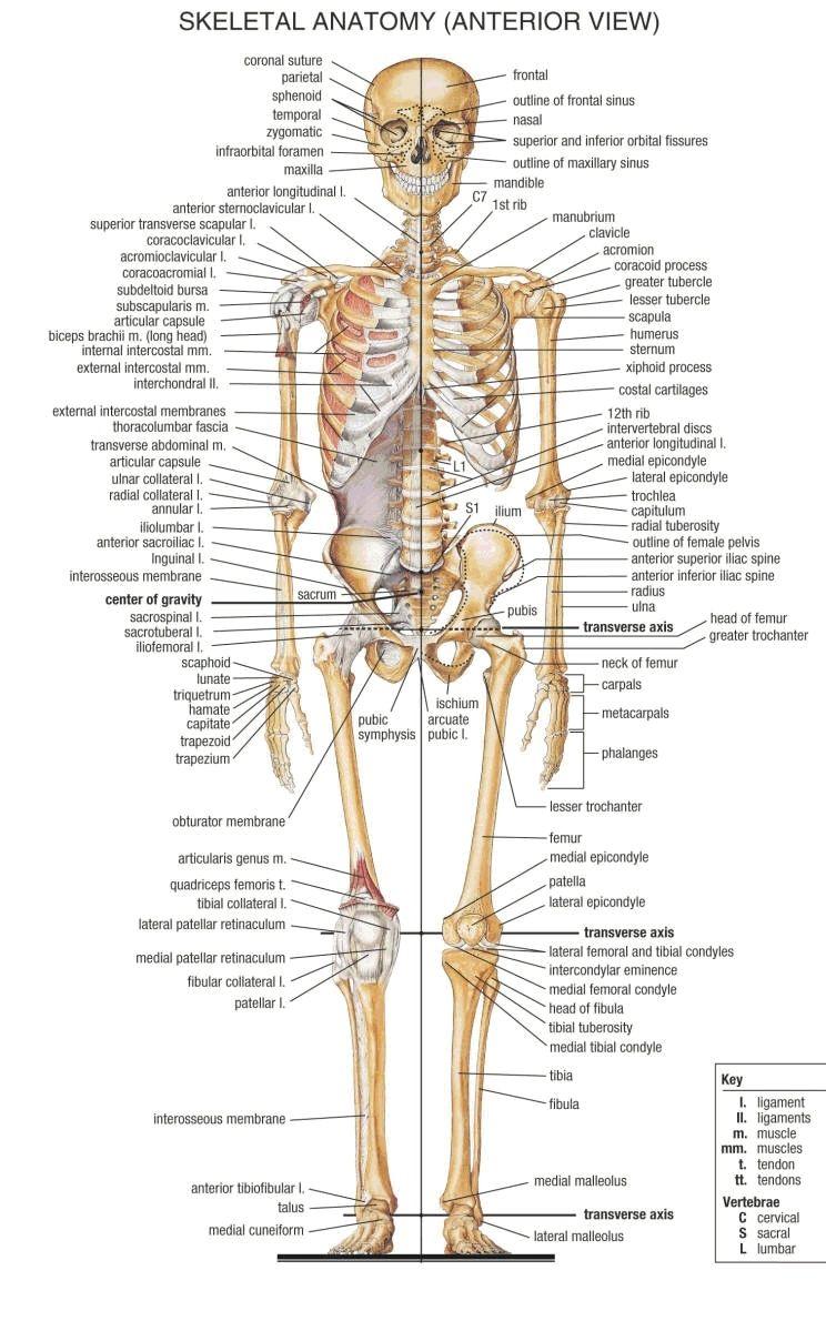 skelette 1 | Medicine | Pinterest | Bildung