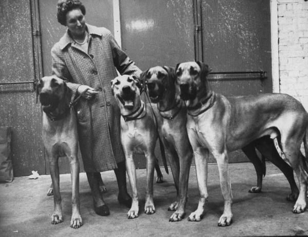 Bring On The Big Dogs Greatdane Great Dane Dogs Great Dane