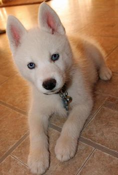Wonderful Siberian Husky Blue Eye Adorable Dog - 94709358cb87f4a66ece1c70cf7b3802  2018_68622  .jpg