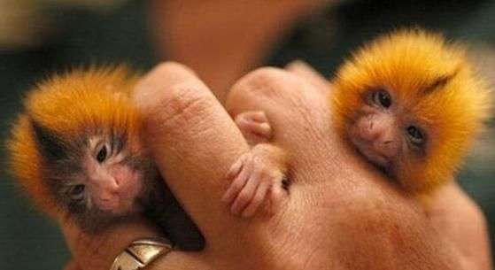 Tiny monkeys
