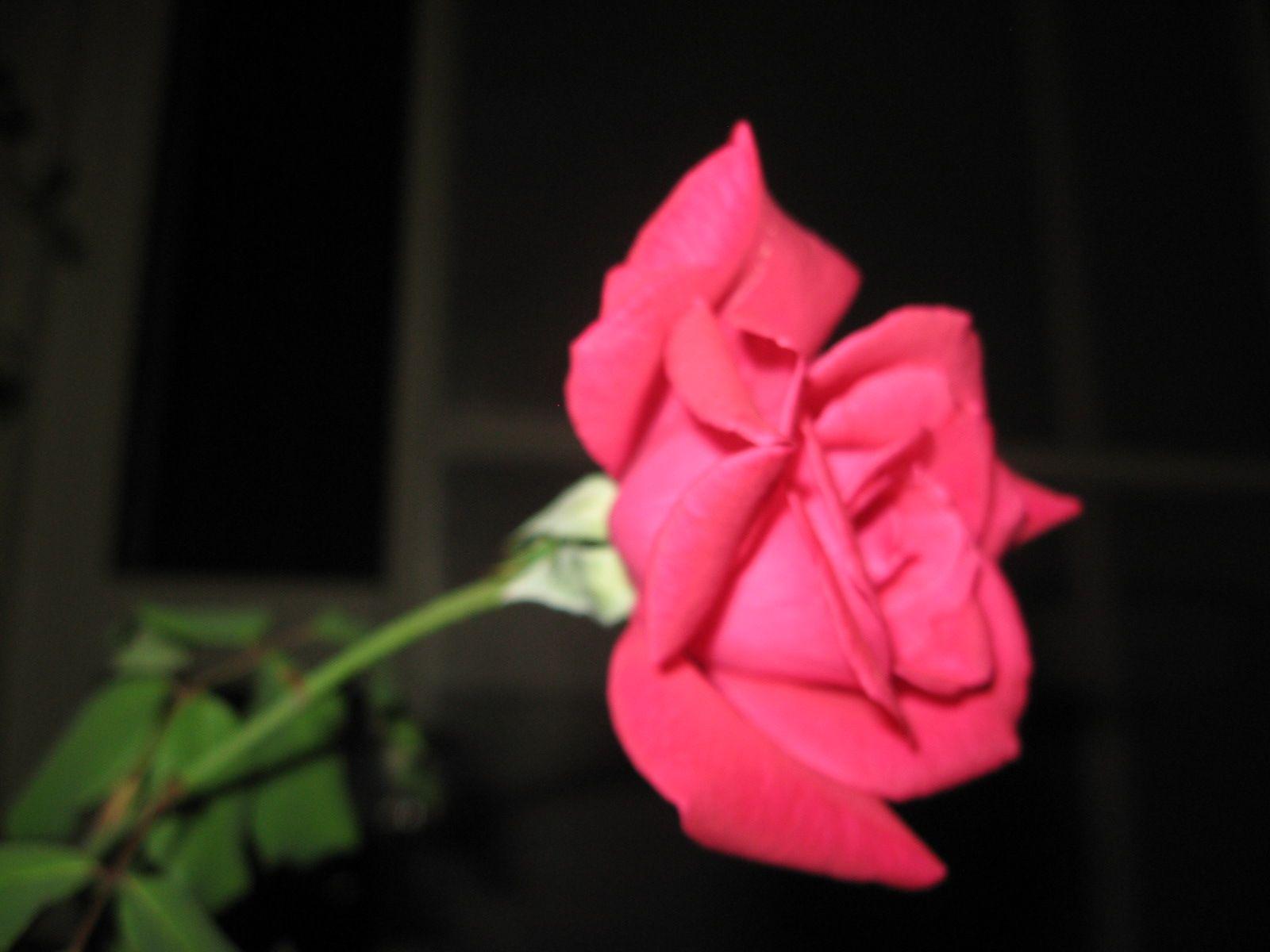 ورد بلدي الوردة نفسها عمرها قصير جد ا و لا تزهر الا مرة كل عدة اشهر و لكن النبات نفسه يستمر معك ينفض اوراقه تماما ثم ينمو براعم جديدة ب Plants