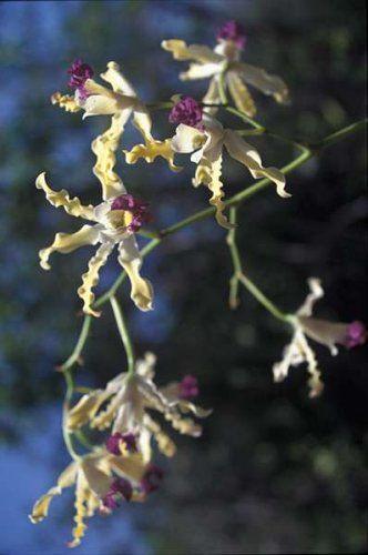 Wild Banana Orchid, National flower - Cayman Islands