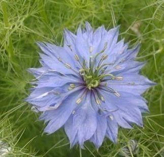 Heirloom Love In A Mist Flower Seeds By Myvictorygarden On Etsy 1 50 Flower Seeds Flowers Seeds