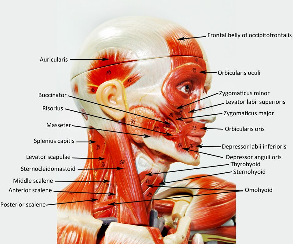 bobbitt laboratories muscle models - google search | anatomy, Muscles