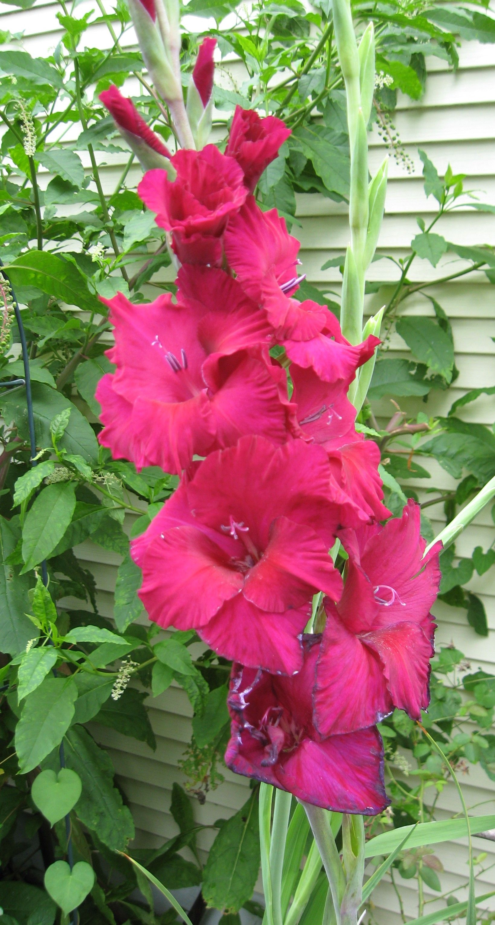 How To Plant And Care For Gladiolus General Home Garden Firehow Gladiolus Flower Gladiolus Line Flower