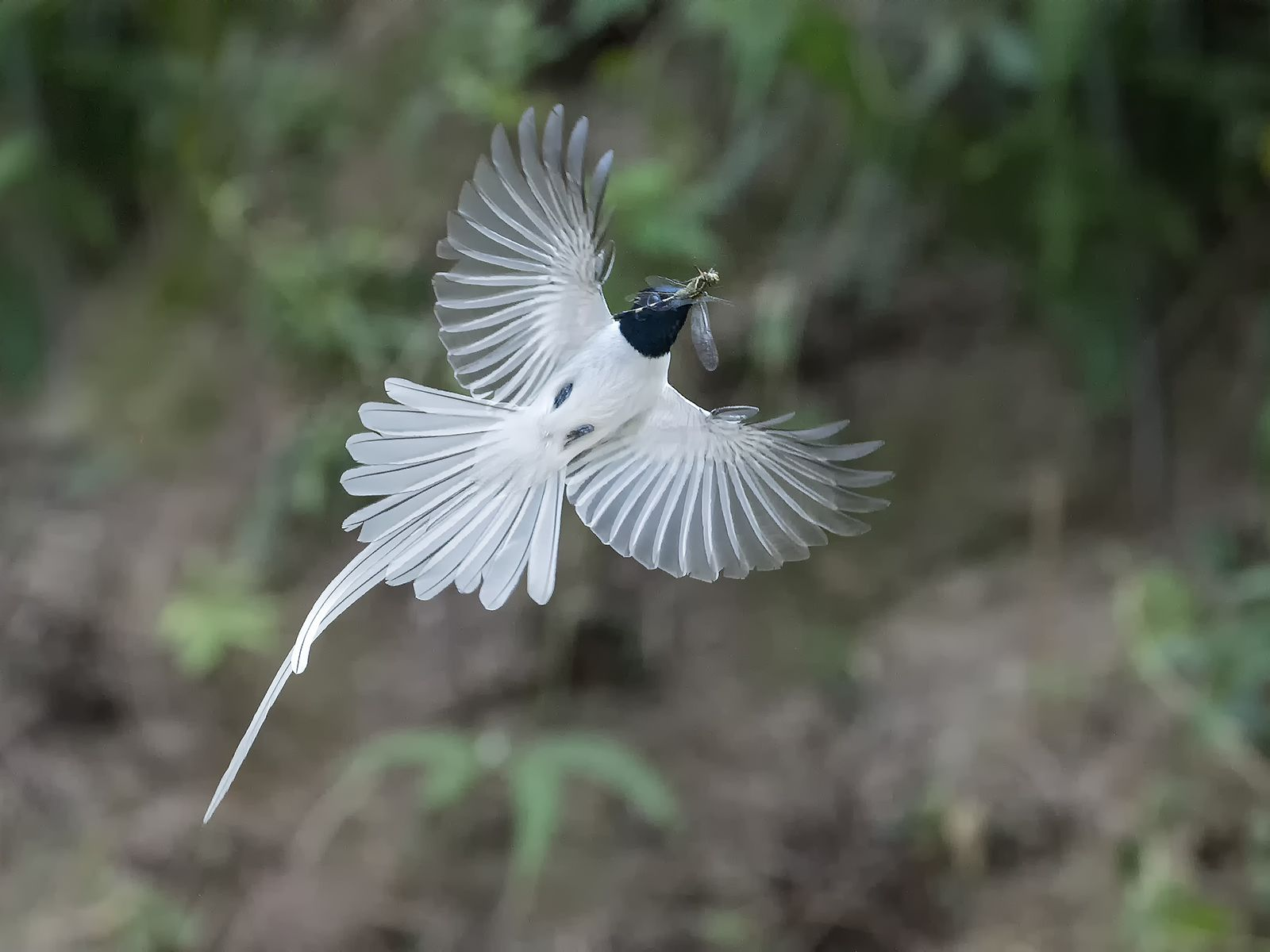 Asian Paradise Flycatcher (whitemorph) _ Boluo ☺☺ (With