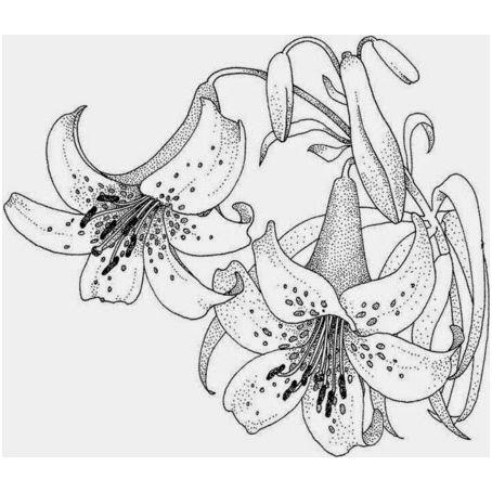 imagenes de flor de jacaranda para colorear  dibujo  Pinterest