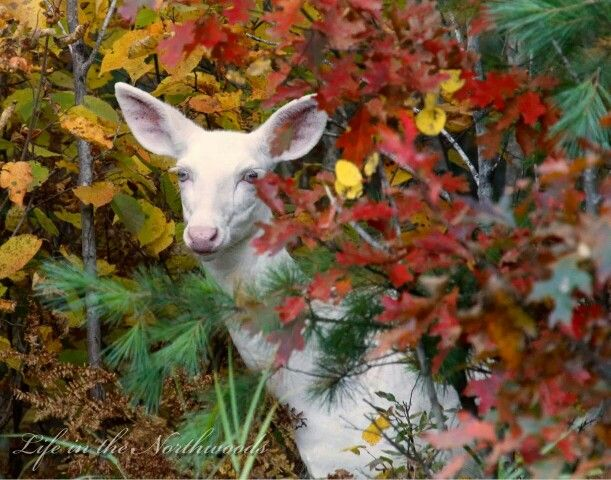 Mike Crowley Albino deer, Animals beautiful, Baby animals