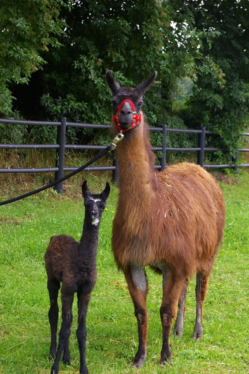 Our own sweet llama's