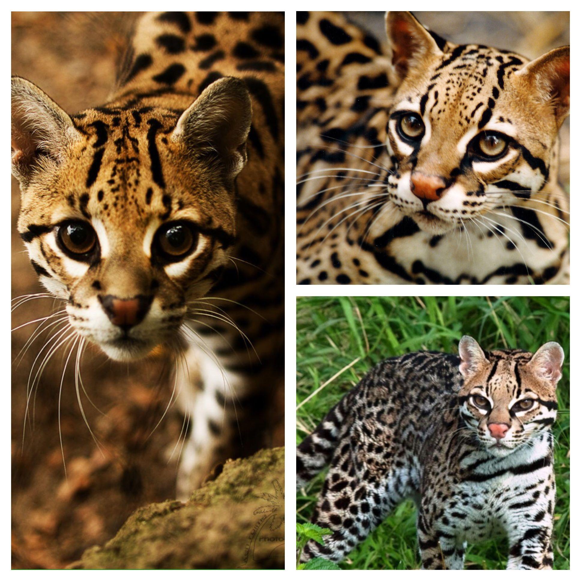 The OCELOT (leopardus pardalis) also known as the dwarf