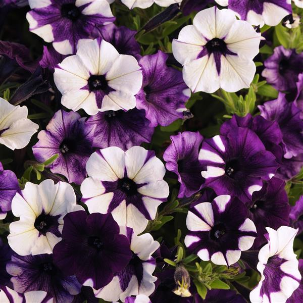 Shock Wave Purple Tie Dye Spreading Petunia In 2020 Petunias Wave Petunias Container Flowers