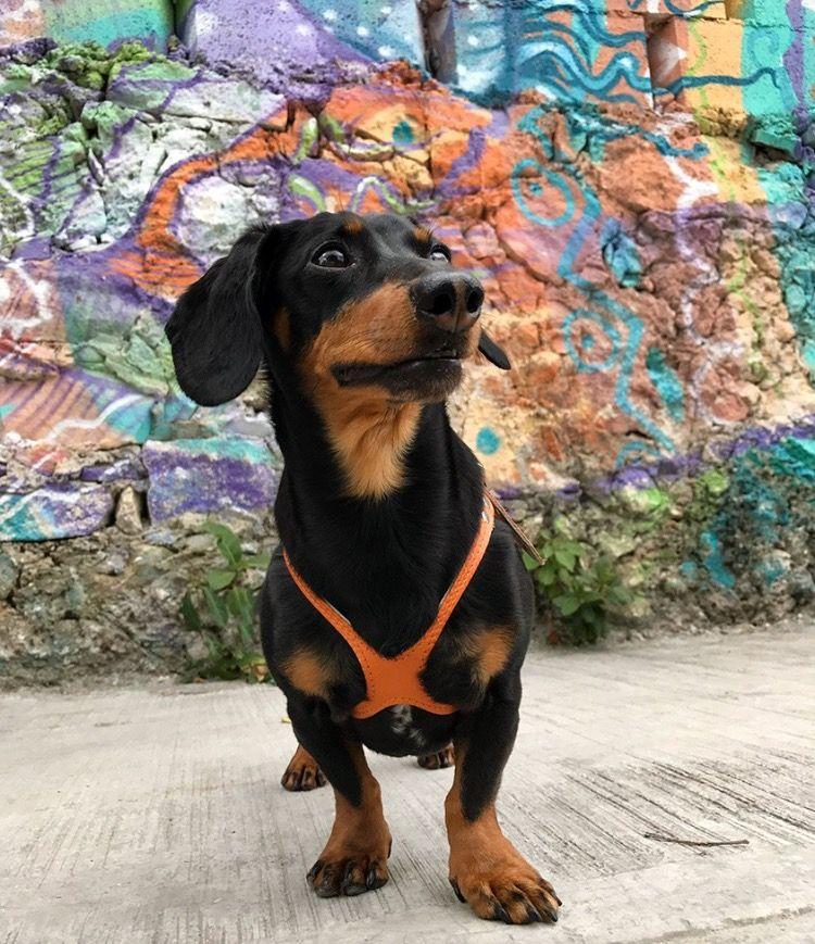 Crusoe The Dachshund Is Wearing A Sunset Buddy Belt Dog Harness