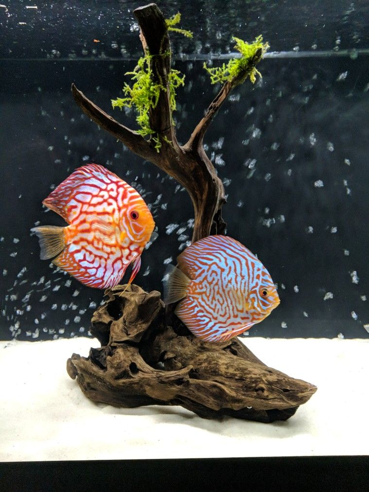 How to care for discus | tank | Pinterest | Acuario y Acuariofilia