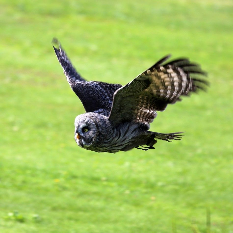 Secrets Of Owls' Noiseless Wings Could Improve Aircraft Stealth Technology