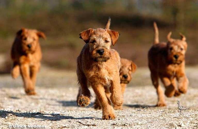 Karina U Hans Erhard Gruttner Zuchter Im Vdh In 2020 Irischer Terrier Terrier Zuchten