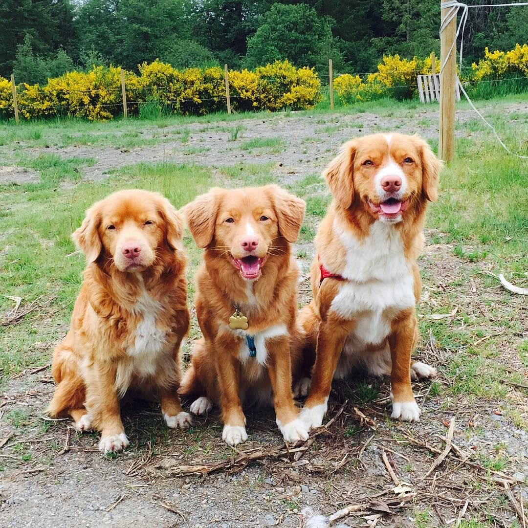 The One Canadian Dog Breed Everyone Needs To Know About Immediately Toller Dog Nova Scotia Duck Tolling Canadian Dogs