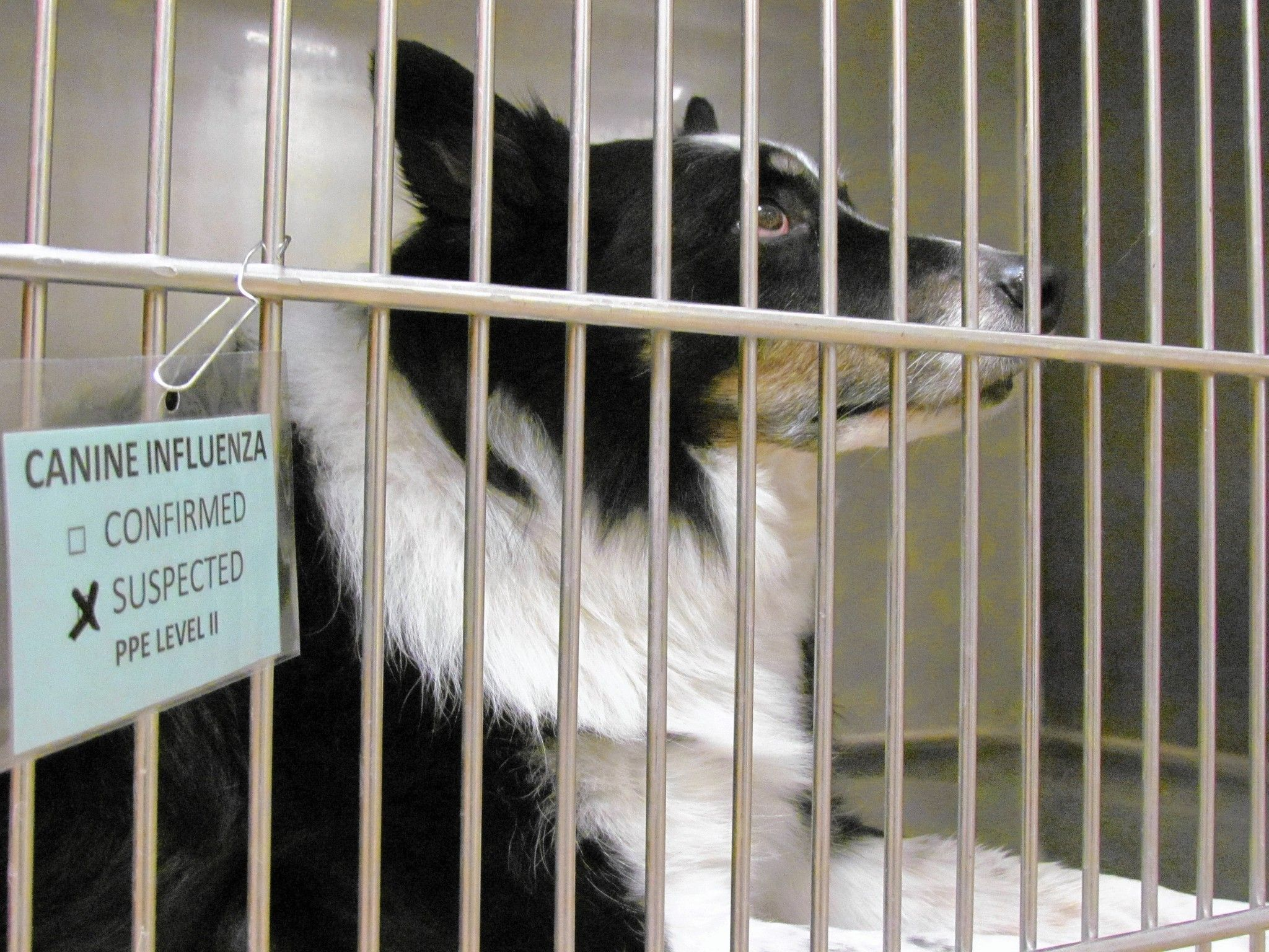 Animal hospital on canine flu: 'Never seen this kind of outbreak'  VCA Aurora Animal Hospital has a sign at its main entrance alerting dog owners of a canine influenza outbreak that has veterinarians taking precautions to prevent the spread of the highly contagious disease.  http://www.chicagotribune.com/suburbs/aurora-beacon-news/news/ct-abn-dog-flu-st-0406-20150403-story.html