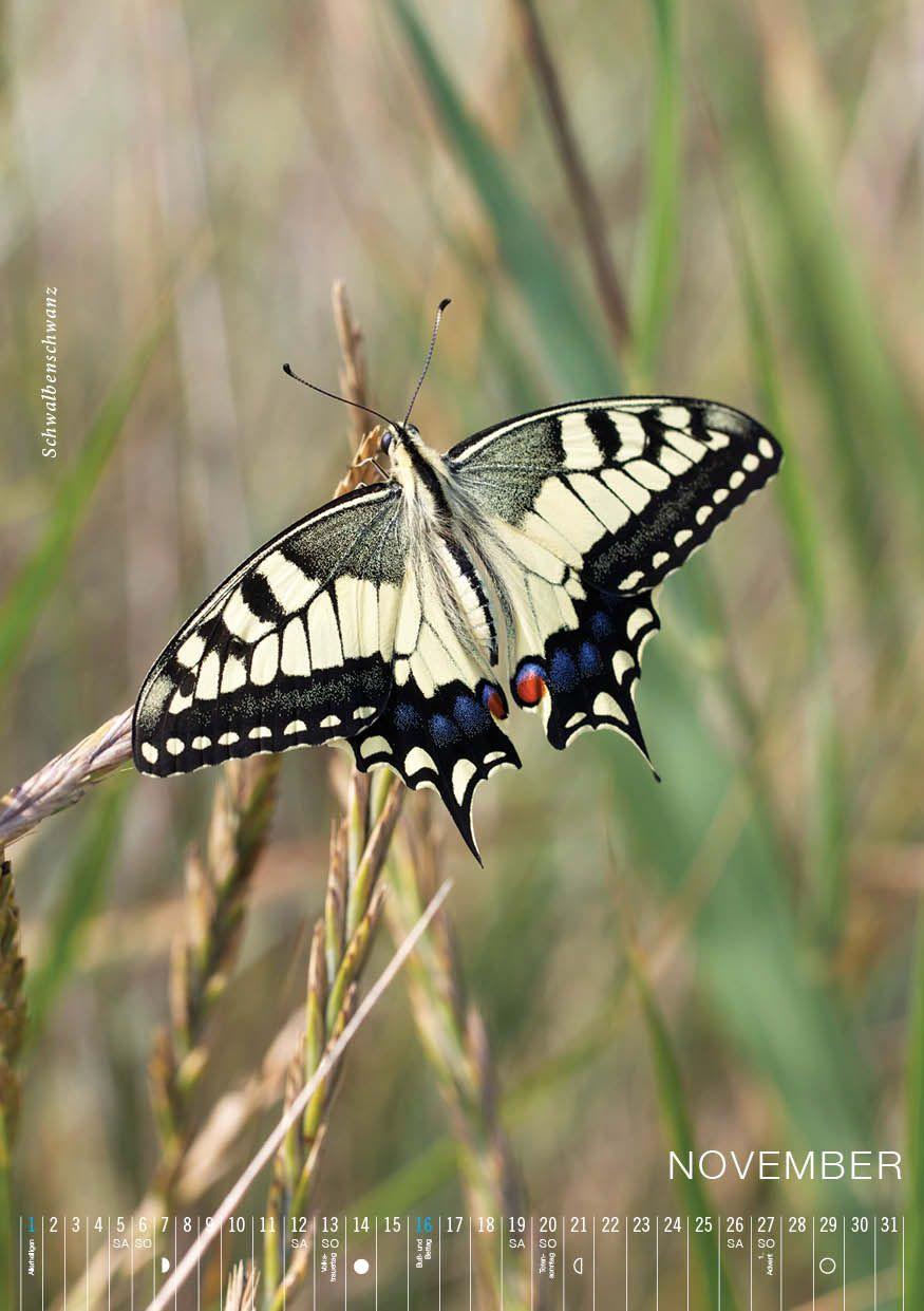 SCHWALBENSCHWANZ heimischer Schmetterling in Spanien entdeckt ...