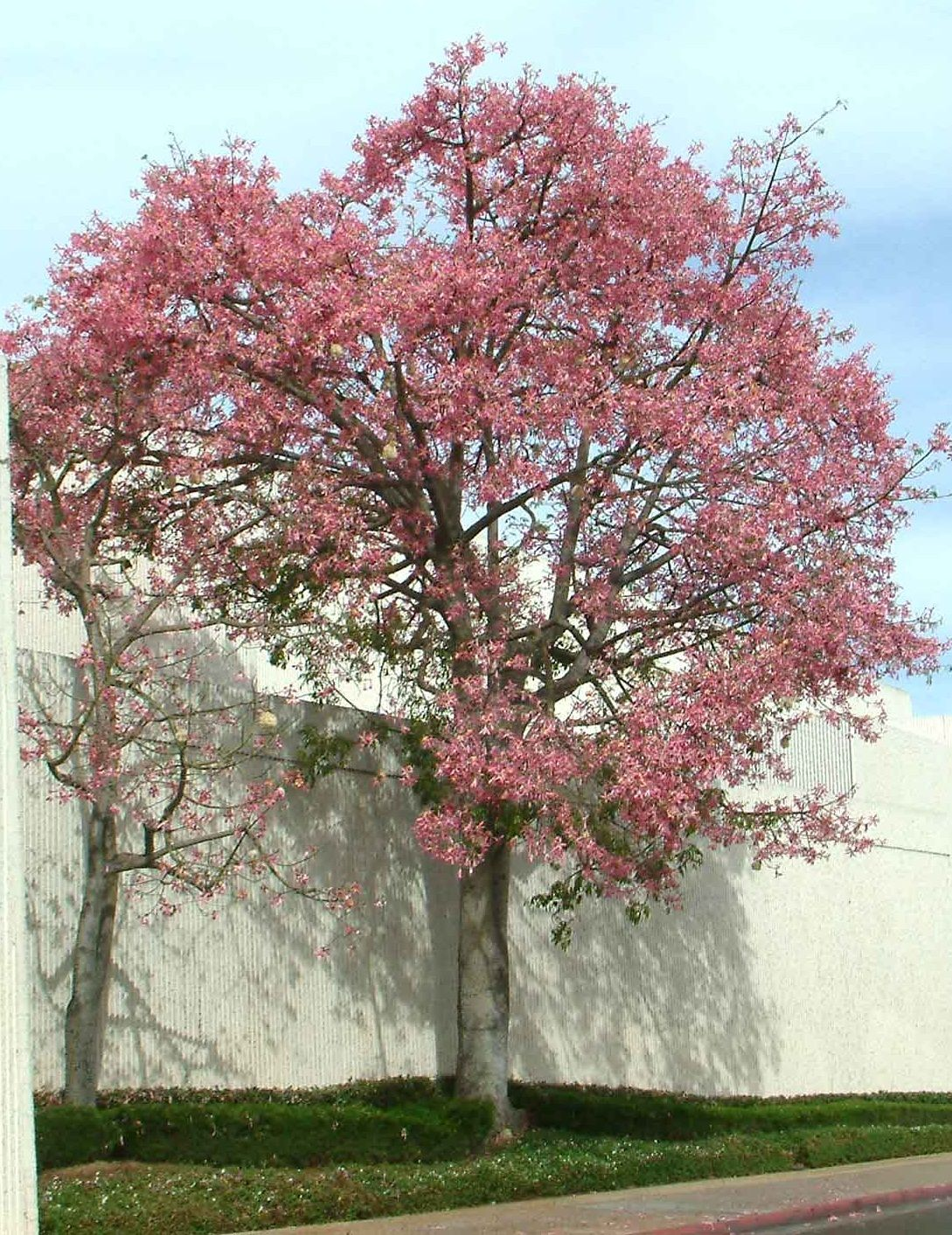 Ceiba speciosalk floss tree non native semi deciduous tree silk floss tree non native semi deciduous tree large dangerous thorns on the trunk and branches large showy pale pink flowers summer to fall mightylinksfo