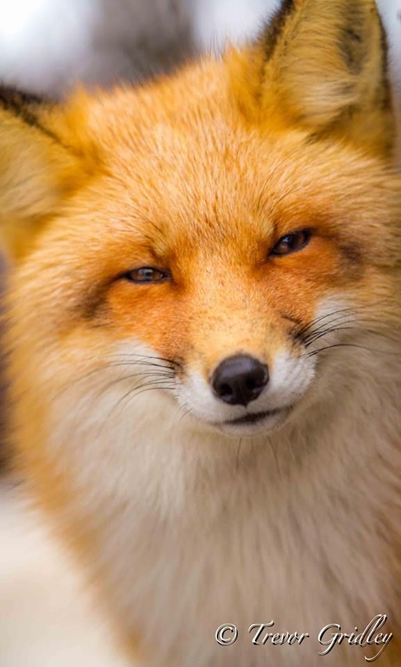 Chip - No Man's Fox on