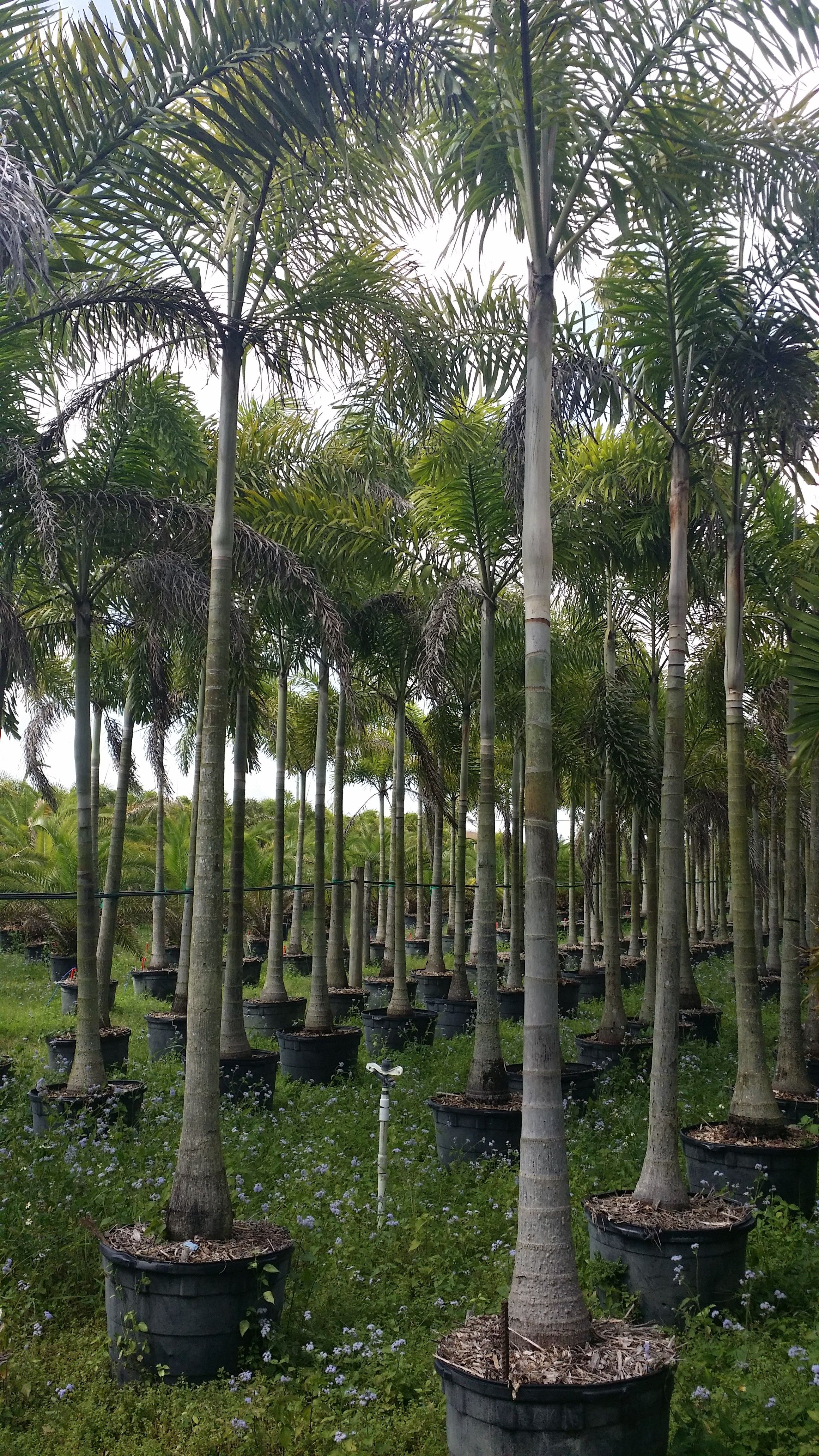 Whole Plant Nursery Florida Foxtail Palm Tree Homestead Single Stem Field Growers