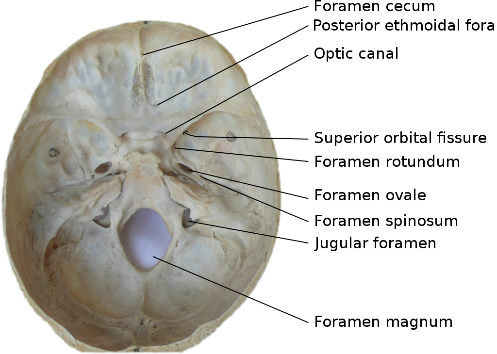 Inner surface of the base of skull, showing cranial foramina ...