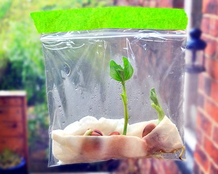 Get beans sprouting in a window bag. Grow your own beanstalk  Get beans sprouting in a window bag